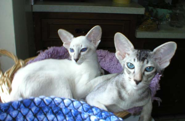 Image result for Cornish Rex Cat with Aqua eyes